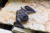istock bat - a young black bat on the stone 1267302736