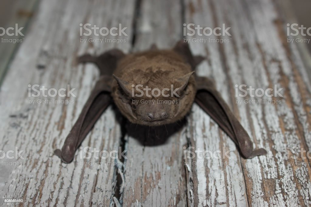 Bat Animal Hanging On A Wooden Board Stock Photo Download Image