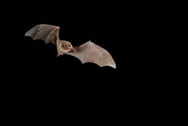 Bat bent common Miniopterus schreibersii, flying in a cave, with black background stock photo