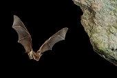 istock Bat buzzard, myotis myotis, flight in his cave 960567868