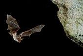 istock Bat buzzard, myotis myotis, flight in his cave 960567882