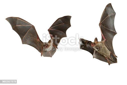 Bat buzzard, myotis myotis, flying with white background