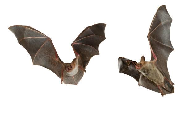 Bat buzzard, myotis myotis, flying with white background stock photo