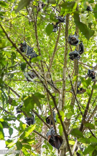 Low angle view of colony of bats in the Monsoon Forest at Litchfield National Park in the Northern Territory of Australia
