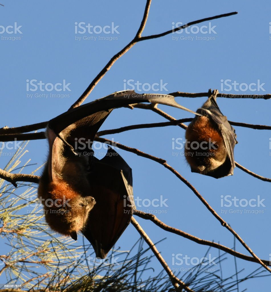 Bat colony stock photo