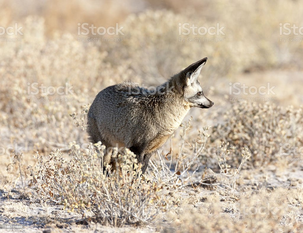 Bat Eared Fox royalty-free stock photo