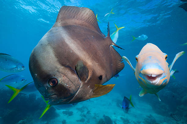 bat fish and parrot fish - great barrier reef stock pictures, royalty-free photos & images