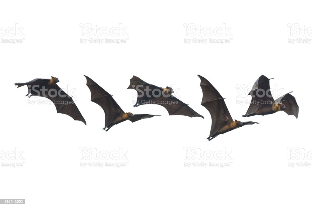 Bat flying isolated on white background stock photo