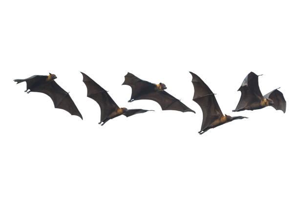 Bat flying isolated on white background stock photo