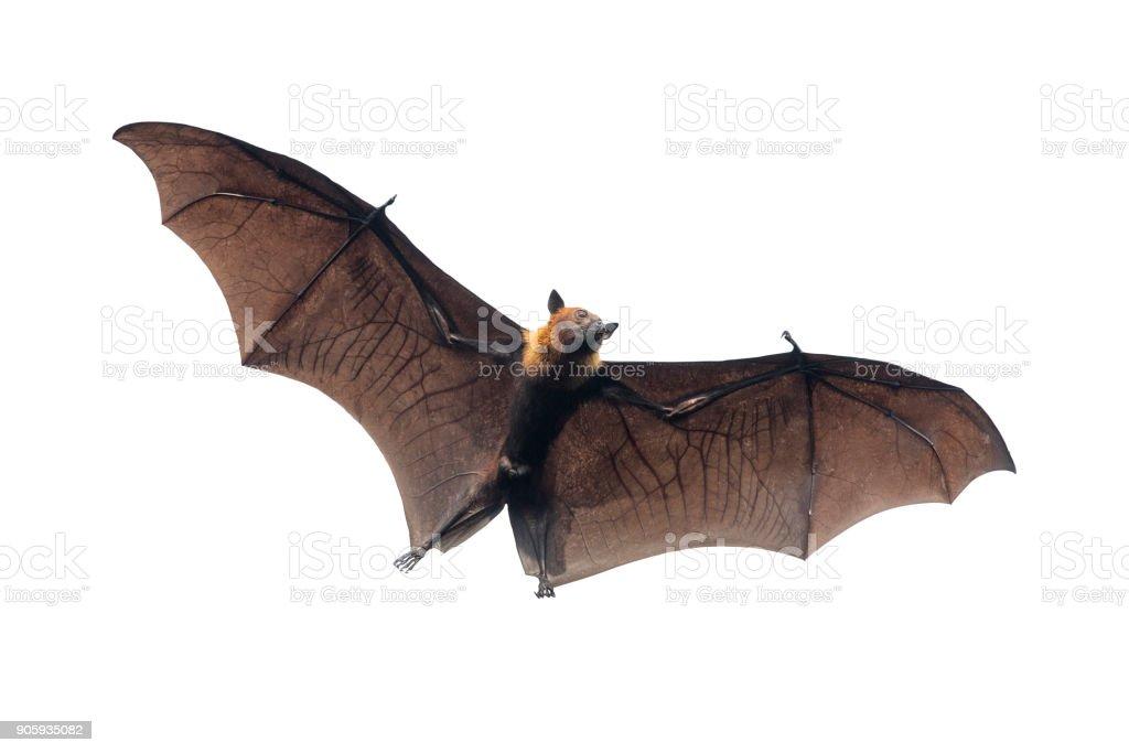 Bat flying on white background stock photo