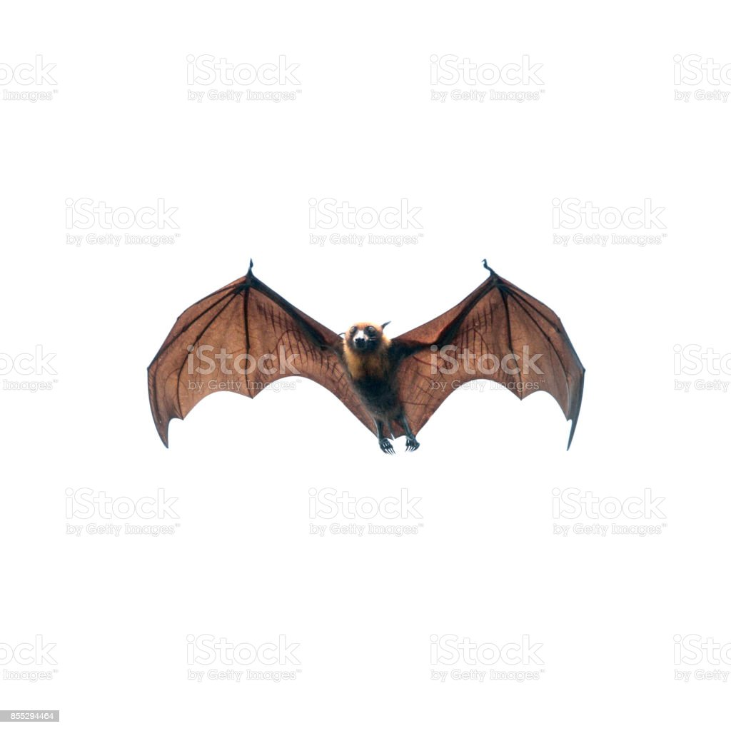 Bat flying stock photo