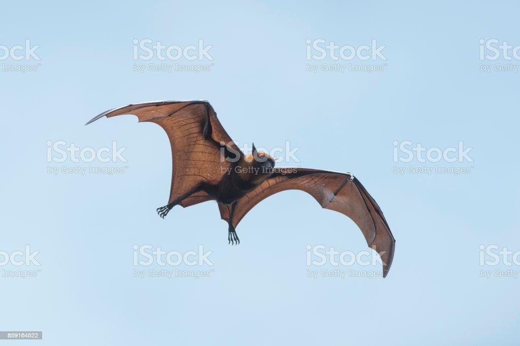 Bat flying stock photo