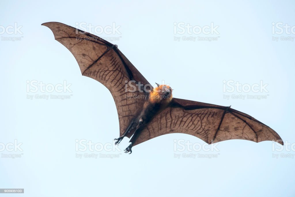 Bat flying (Lyle's flying fox) stock photo