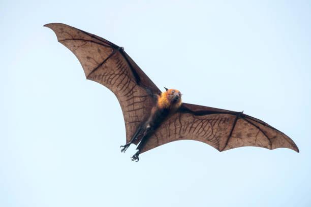 Bat flying (Lyle's flying fox) stock photo