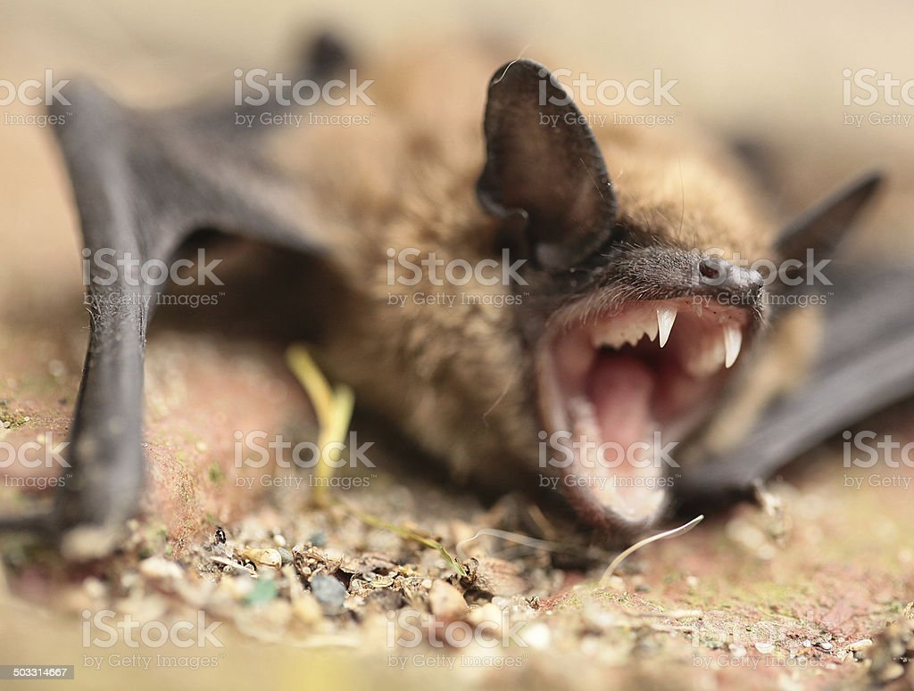 bat grinning stock photo