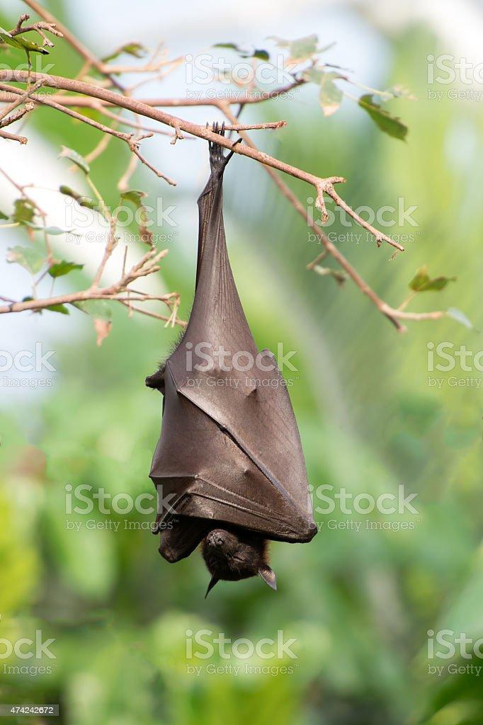 Bat hanging on the tree stock photo