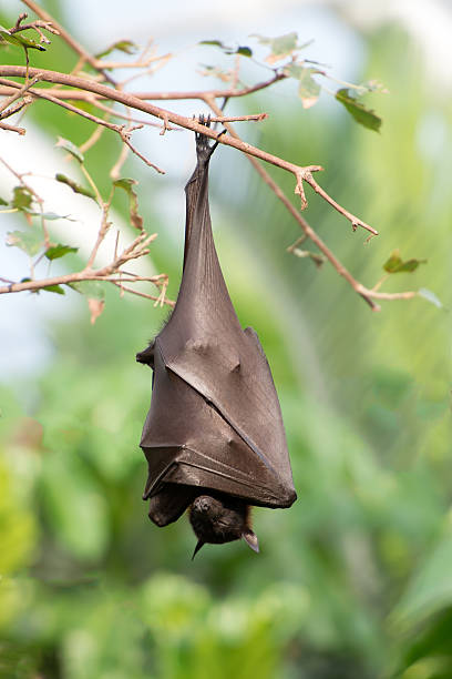 Bat hanging on the tree stock photo