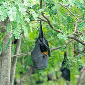 istock Bat hanging (Lyle's flying fox) 905934998