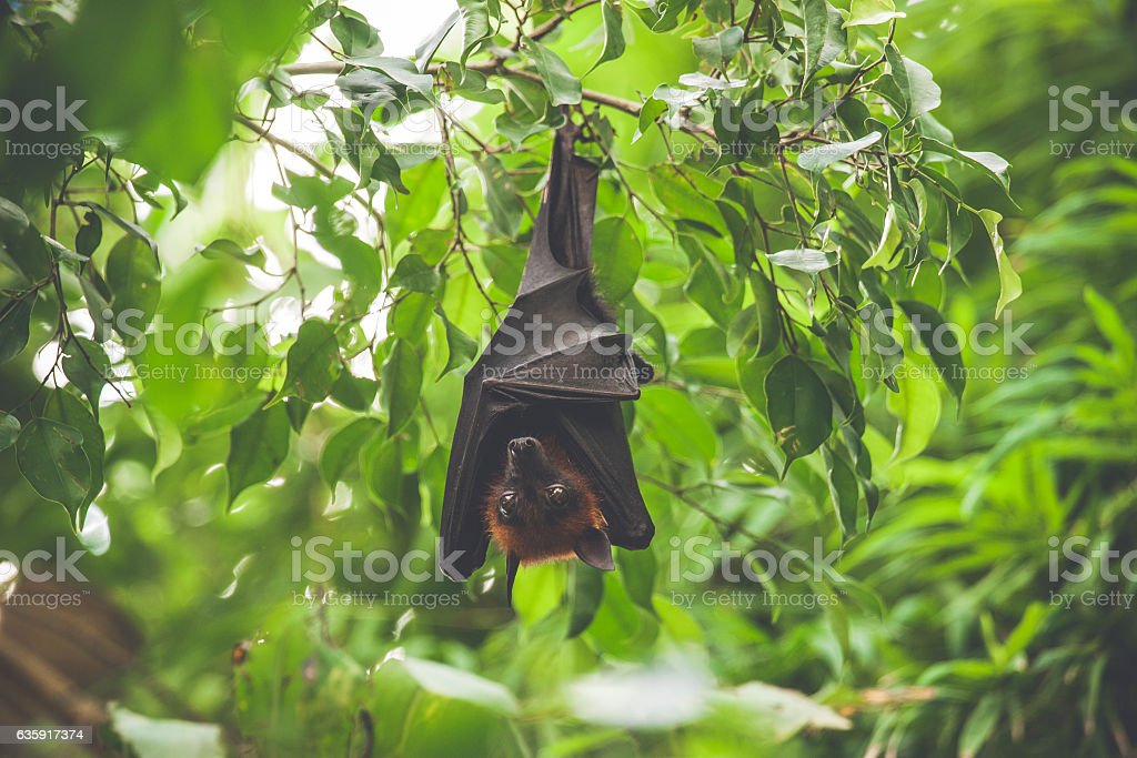 Bat hanging upside down in a green rainforest stock photo
