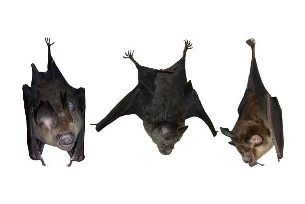Bat hanging upside down isolated on white background stock photo