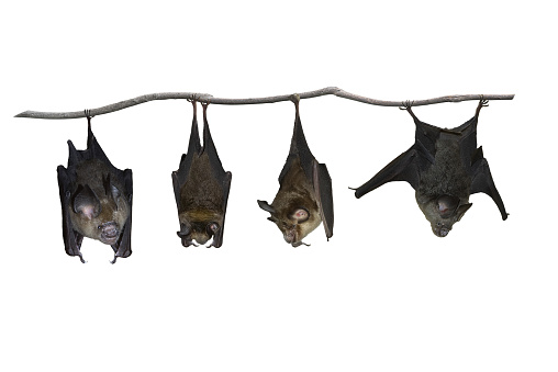 Bat hanging upside down isolated on white background