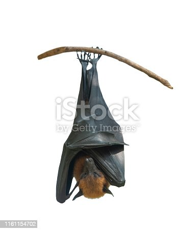 Bat hanging upside down on the tree and isolated on white background