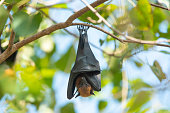 istock Bat hanging upside down on the tree, Lyle's flying fox 1161154681
