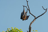 istock Bat hanging upside down on the tree, Lyle's flying fox 1161154706