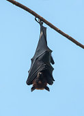 istock Bat hanging upside down on the tree, Lyle's flying fox 1161154793