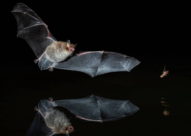Bat hunting an insect stock photo
