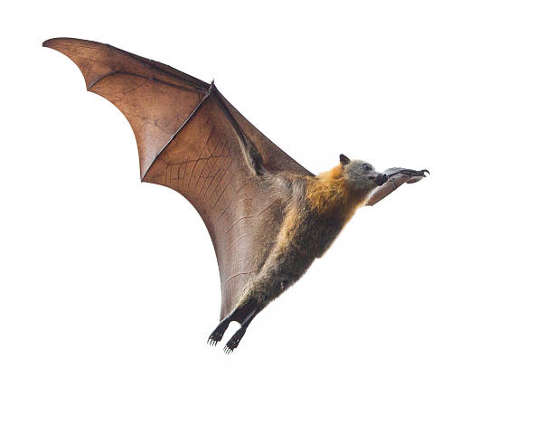 Bat isolated against white sky picture id492958060?b=1&k=6&m=492958060&s=612x612&w=0&h=m9r4gggva8nmxsr1c7ygn4jom54a3c6zsi2t4g1j4fu=