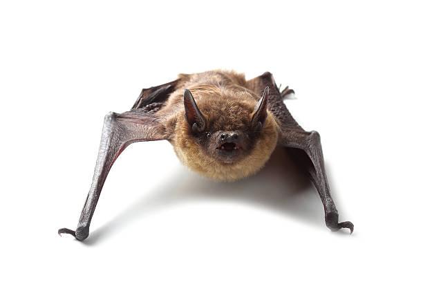 Bat isolated on white stock photo