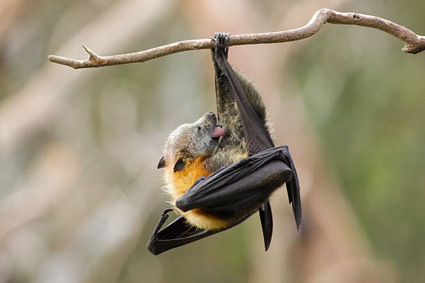 bat licking itself - preening - fotografias e filmes do acervo