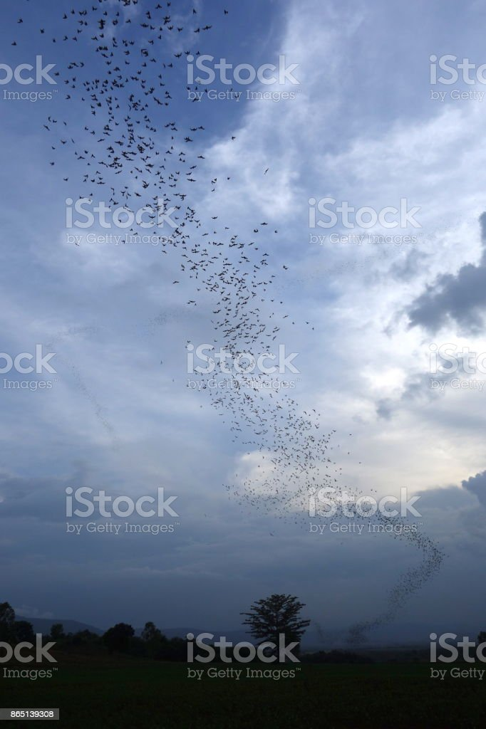 bat migration chiang mai, thaïland