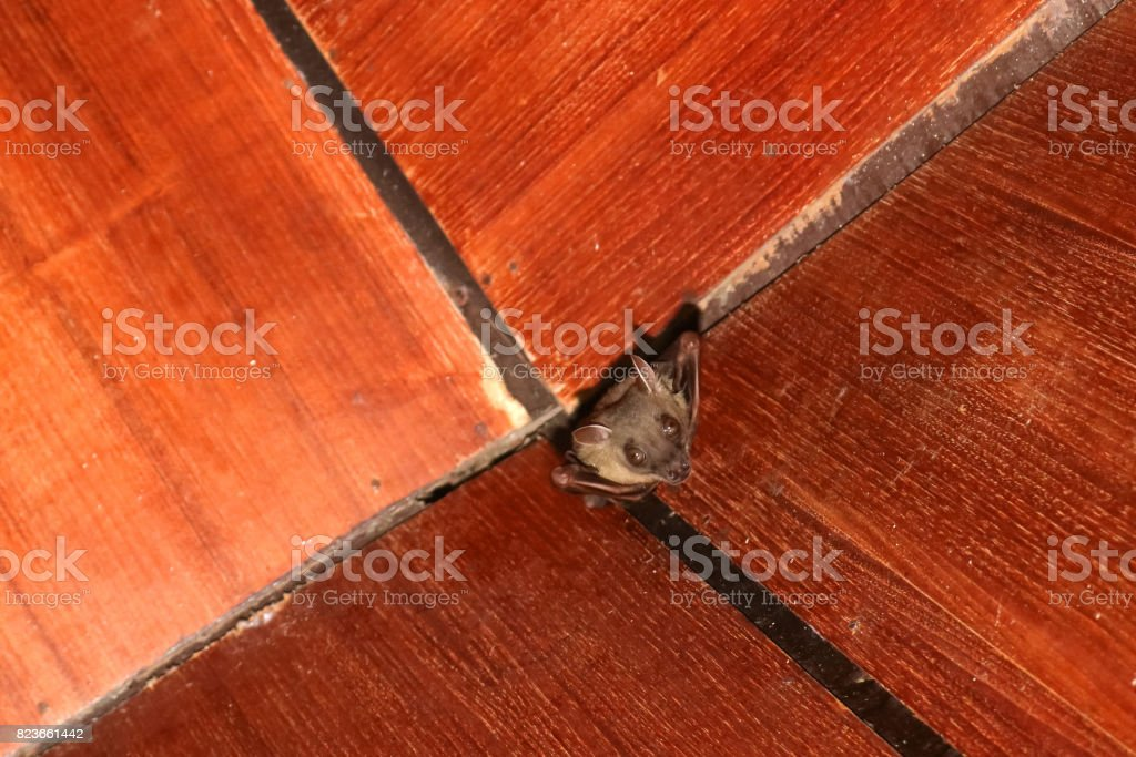 Bat on the wooden ceiling stock photo