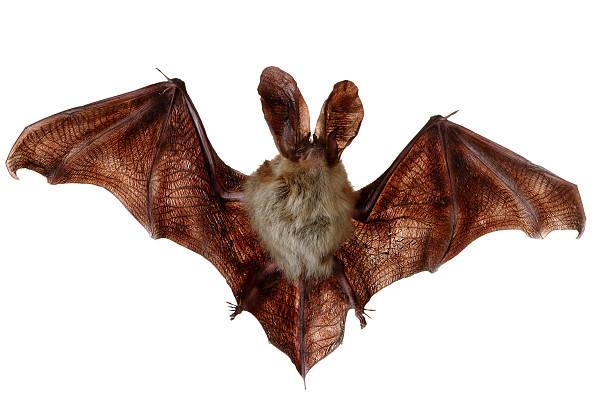 Bat (Ciroptera) stock photo