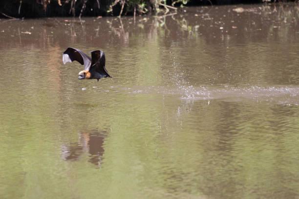 bat - wasserfledermaus stock-fotos und bilder