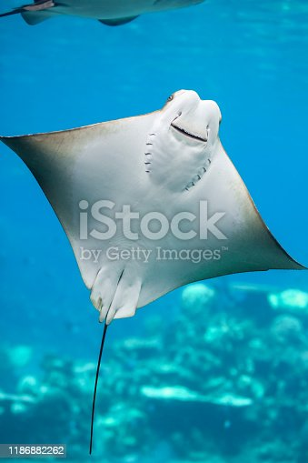 Close up of a Bat Ray swimming in the water