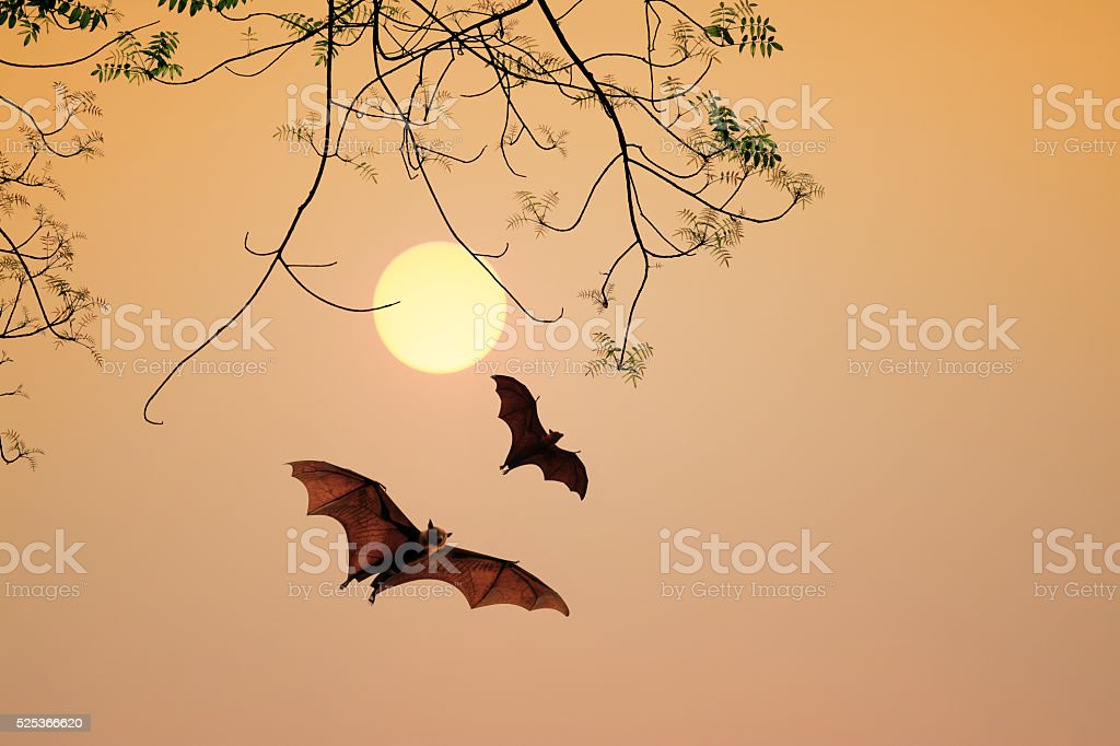 Bat silhouettes agent sunset time stock photo