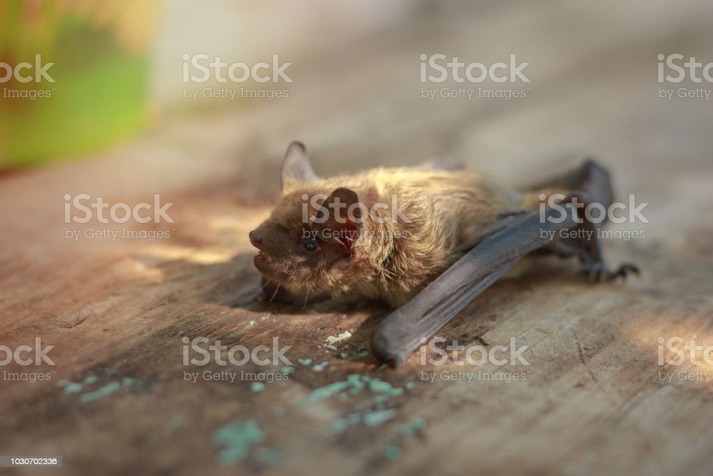 Bat Small On A Wooden Table In The Afternoon Stock Photo Download