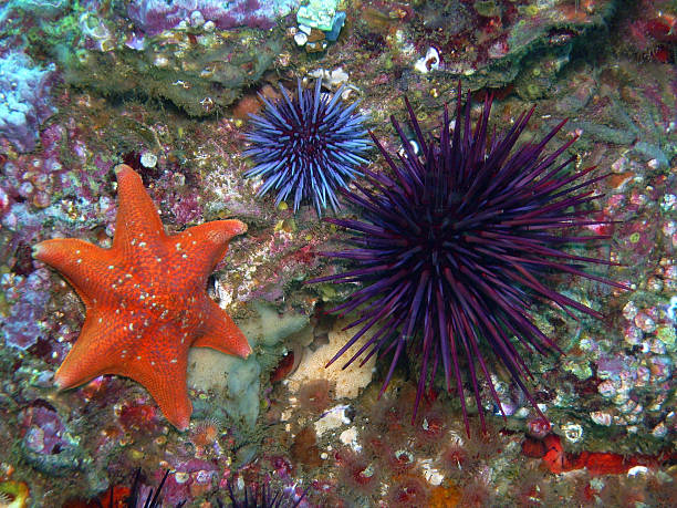Bat Star with Purple Sea Urchins stock photo