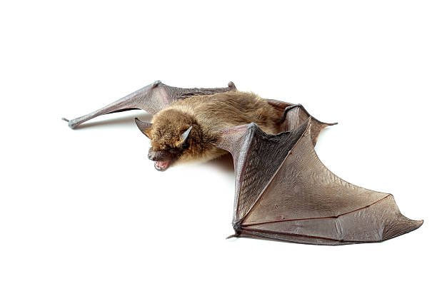 bat with open wings on white stock photo