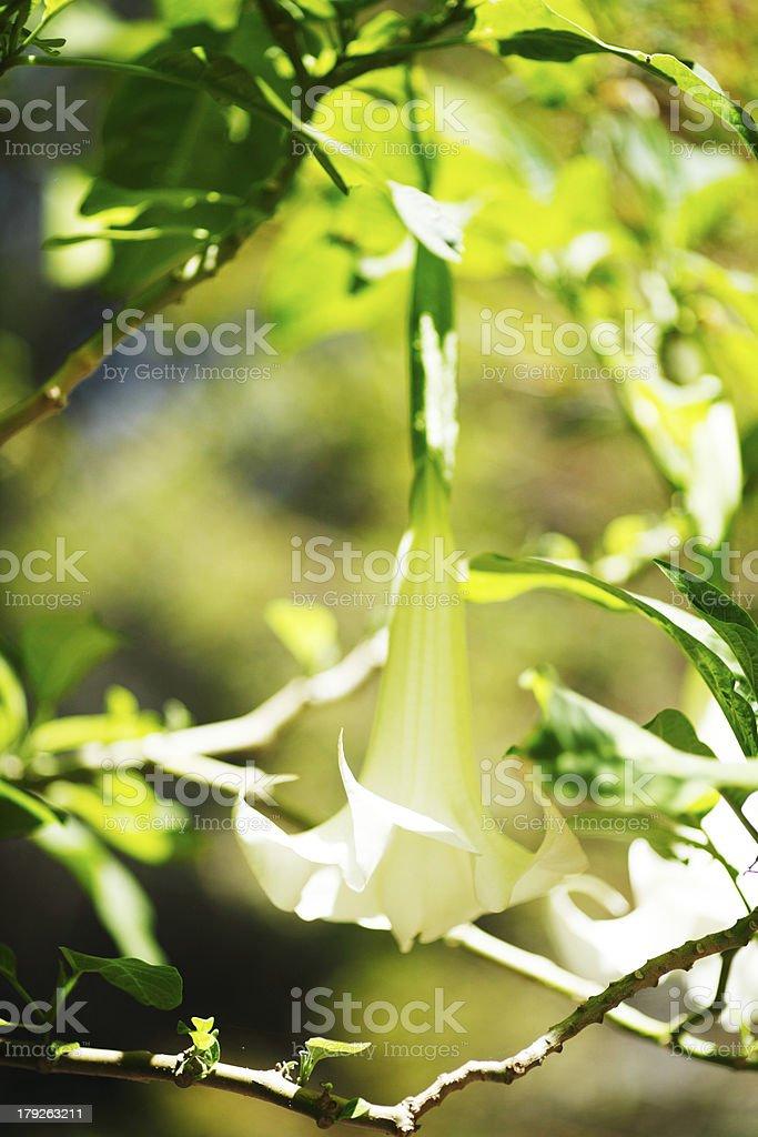 Batata flower royalty-free stock photo