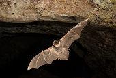 istock Bat-bent common miniopterus schreibersii, flying in a cave 960567890