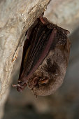istock Bat-bent common miniopterus schreibersii, resting in a cave 960567898