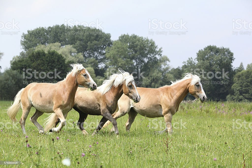 Batch of chestnut horses running together in freedom royalty-free stock photo