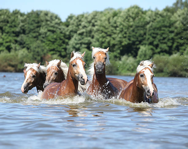 Batch of chestnut horses swimming in water picture id181782015?b=1&k=6&m=181782015&s=612x612&w=0&h=l2prqtiqitqplgase9zlxvgz svjjqgbew7qkyj0saw=