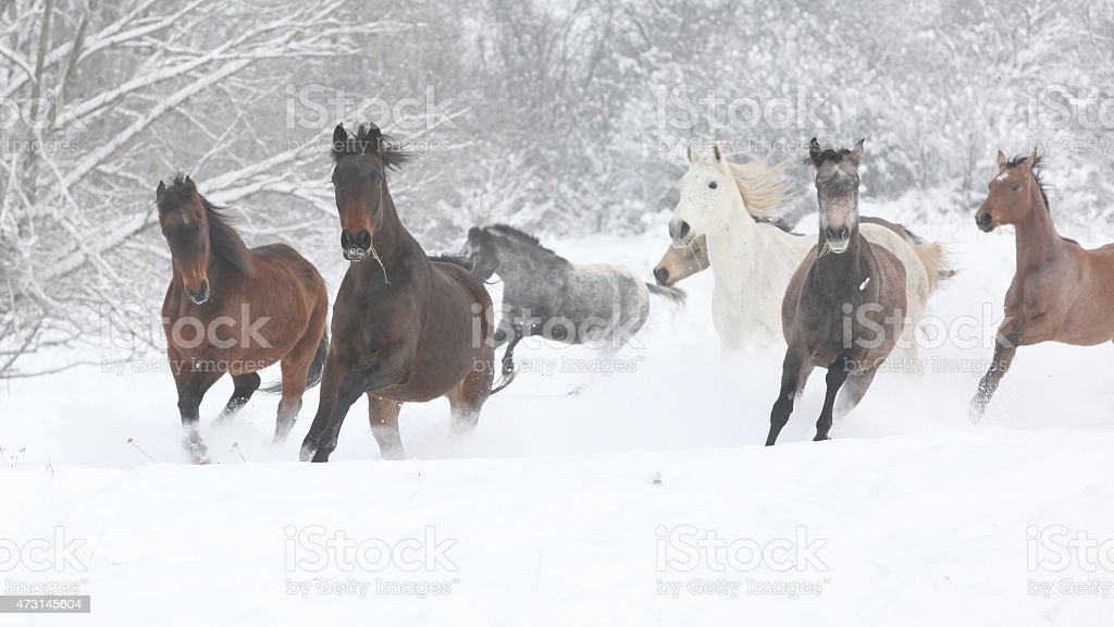 Batch of horses running in winter stock photo