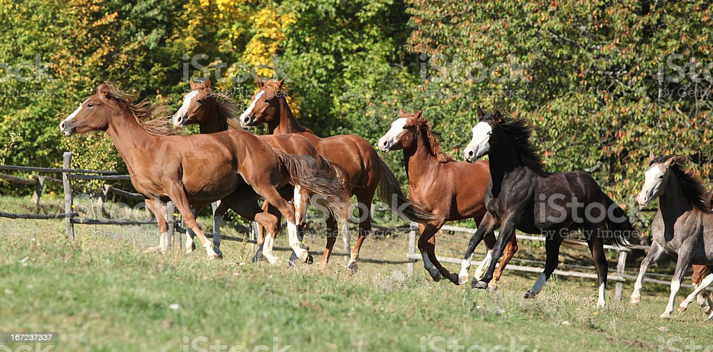 Batch of horses running on pasturage royalty-free stock photo