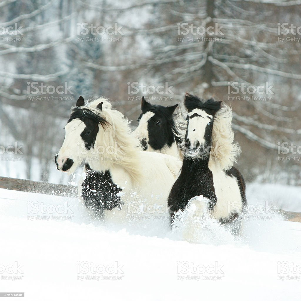 Batch of irish cobs running in winter stock photo